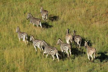 Aerial view of plains zebras running in grassland