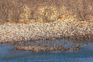Flock of red-billed Queleas, Etosha National Park