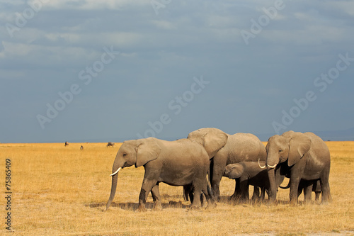 canvas print picture African elephants in grassland, Amboseli National Park