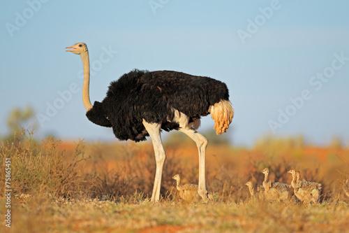 Plexiglas Struisvogel Ostrich with chicks in desert landscape