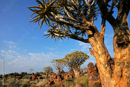 Leinwanddruck Bild Desert landscape with quiver trees and granite rocks