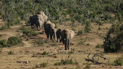 Herd of African elephants, Addo Elephant National Park