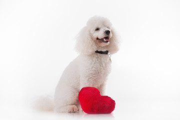 Lover valentine puppy dog with a red heart isolated on white.
