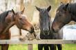 Three horses and cat - 75868614