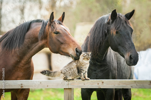 Friendship of cat and horses - 75868615