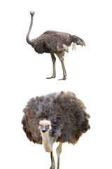 Ostriches isolated on white