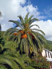 Перистые пальмы с плодами.