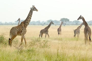 Herd of giraffes in Tanzania