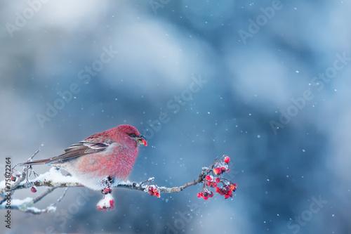 Pine Grosbeak eating frozen rowan berries - 75872264