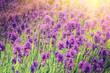 Closeup of lavender field