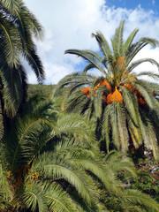 Перистые пальмы с плодами на фоне голубого неба.