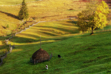 Cows grazing on an autumn meadow near a haystack.