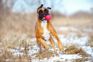happy boxer dog running with a ball