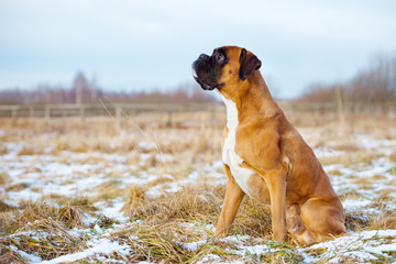 red german boxer dog outdoors in winter