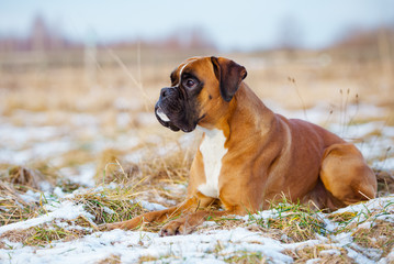 red german boxer lying down outdoors