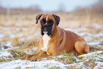 red german boxer dog lying down outdoors