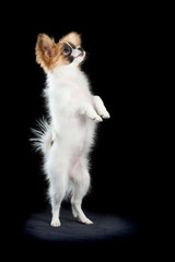 Papillon puppy standing on hind legs