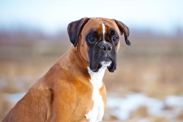 german boxer dog portrait