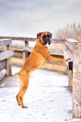 red german boxer dog standing on the fence