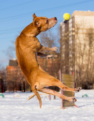 American Pit Bull Terrier catches ball