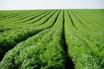 Green carrot field