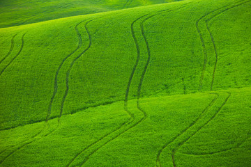 Green wavy fields in Tuscany as a background for design