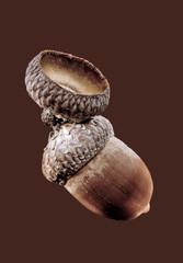 acorn of oak