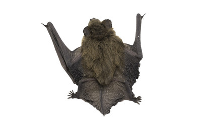 Top view of bat (Common Pipistrelle) on white background