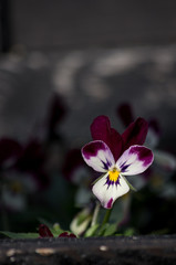 紫と白のビオラ