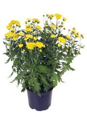 Bush of yellow chrysanthemums