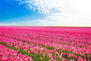 Beautiful field view of pink tulips, Netherlands