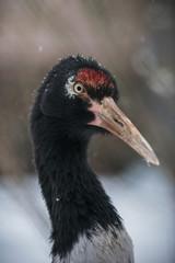 profile of adult sandhill crane