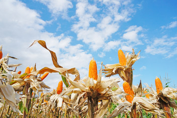 Ripe Corn against the sky
