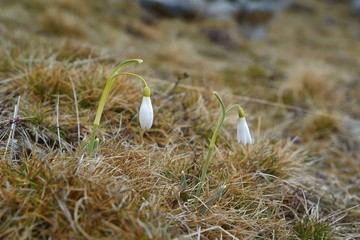 Group of beautiful fresh snowdrops in early spring