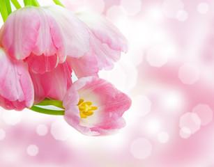 Rosa Tulpen, Bokeh