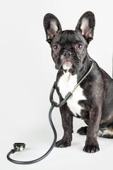 bulldog with stethoscope around his neck