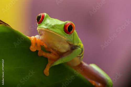 Rotaugenlaubfrosch Red eyed tree frog - 75891267
