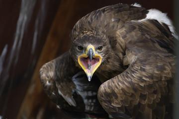 crying eagle and looking at camera