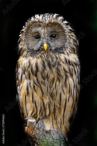Tuinposter Uil two-tailed owl