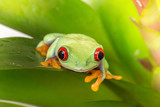 Rotaugenlaubfrosch Red eyed tree frog