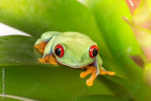 Foto op Canvas Kikker Rotaugenlaubfrosch Red eyed tree frog