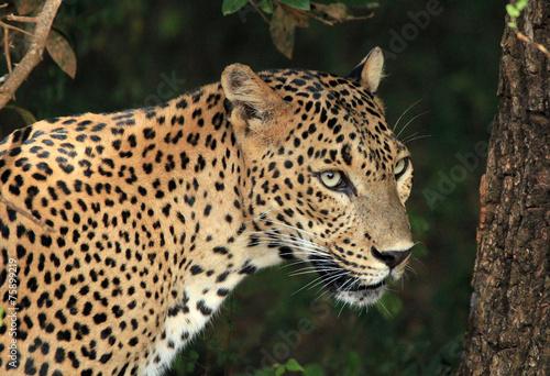 Fotobehang Luipaard Sri Lankan Leopard, Yala, Sri Lanka