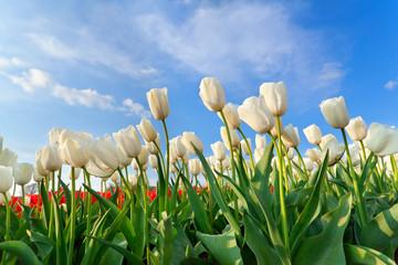 white tulip field over blue sky