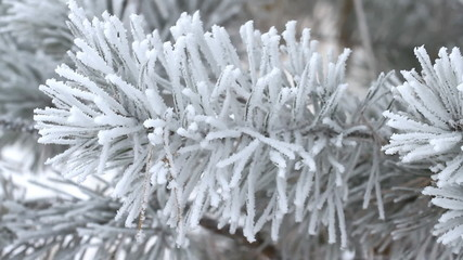 Fir tree covered by ice in winter