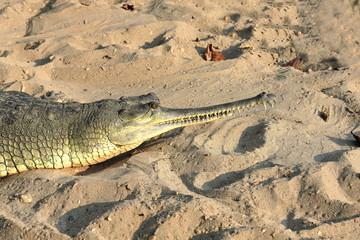 Breeding gharial. Chitwan-Nepal. 0922