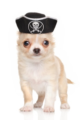 Chihuahua puppy in pirate hat