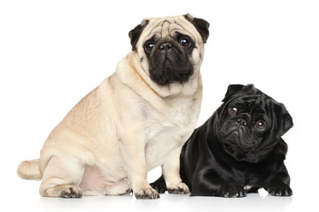 Pugs black and brown