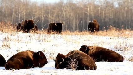 wild bison in the wild, nature series