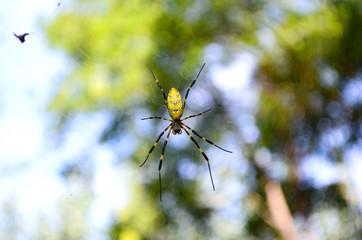 A Spider (Nephila Clavata) Waiting for His Prey