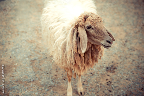 sheep standing Poster